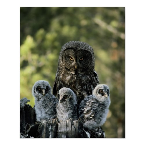 The Mother Great Gray Owl | Awesome Wildlife Poster