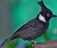Burung Cililin Warna Hitam Dewasa