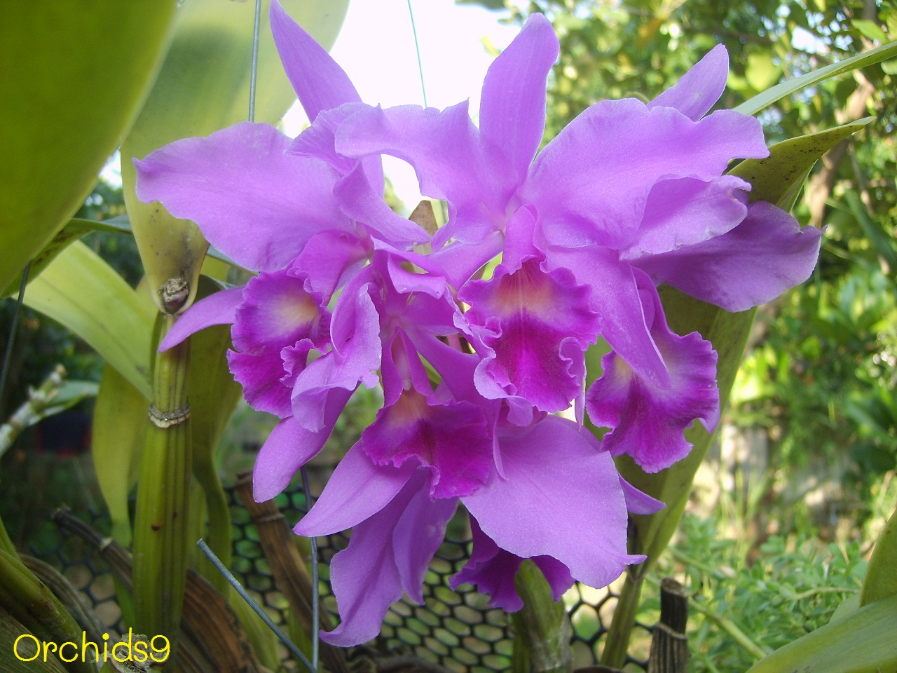 orchid flower pictures