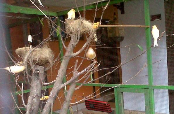 3 Rahasia Ternak Kenari Secara Koloni Dijamin Berhasil Untuk Pemularaja Burung