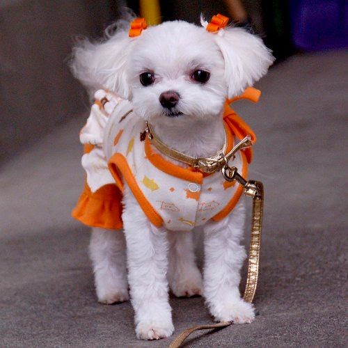 Cute Maltese Puppy the groomers call it a poodle cut