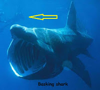 gambar ikan hiu raksasa basking membuka mulut