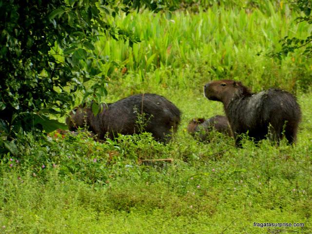 Férias de julho Brasil - capivaras no Pantanal do Mato Grosso