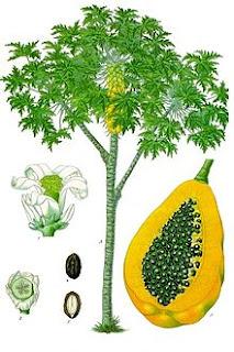 Ботаническая иллюстрация из книги «Köhler's Medizinal-Pflanzen», 1887