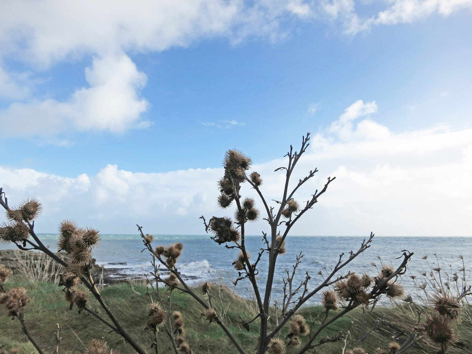 Dry and dead Burdock plant with brown and prickly seed heads. Portland Bill.