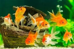 Manfaat Ikan Hias bagi Kehidupan Manusia