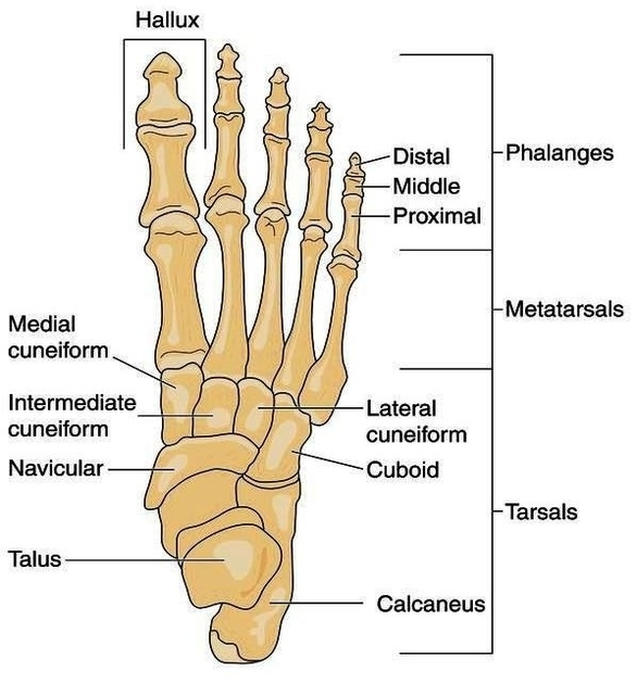 human leg bone structure human anatomy details. Black Bedroom Furniture Sets. Home Design Ideas
