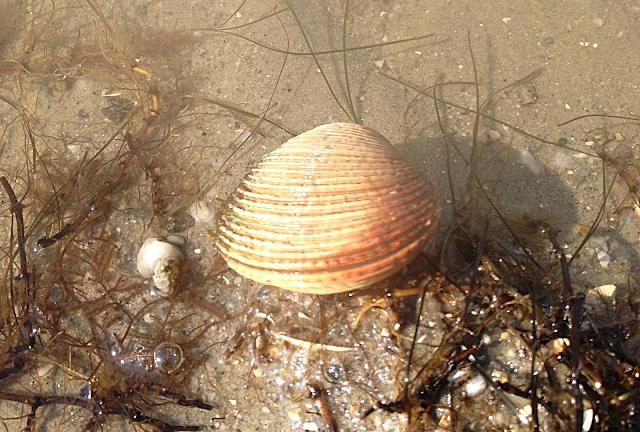praire peche mollusque