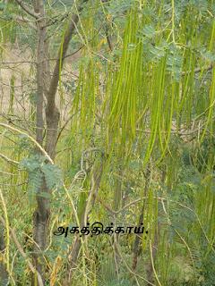 Agathi grandiflora leaves
