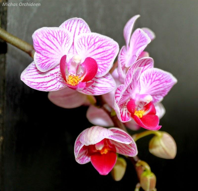 micha 39 s orchideen ein paar bl tenbilder. Black Bedroom Furniture Sets. Home Design Ideas