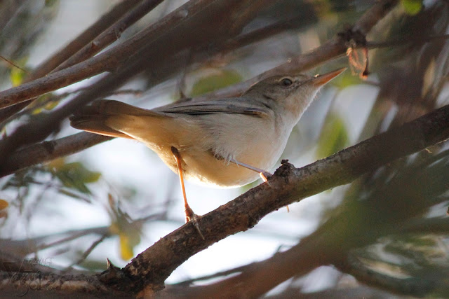 Blyths Reed Warbler(12.5-14 cm) - Bengaluru