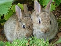 Tips dan Trik Mengawinkan Kelinci