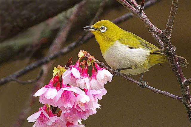 bird, Japanese White Eye, mejiro,flowers, cherry tree