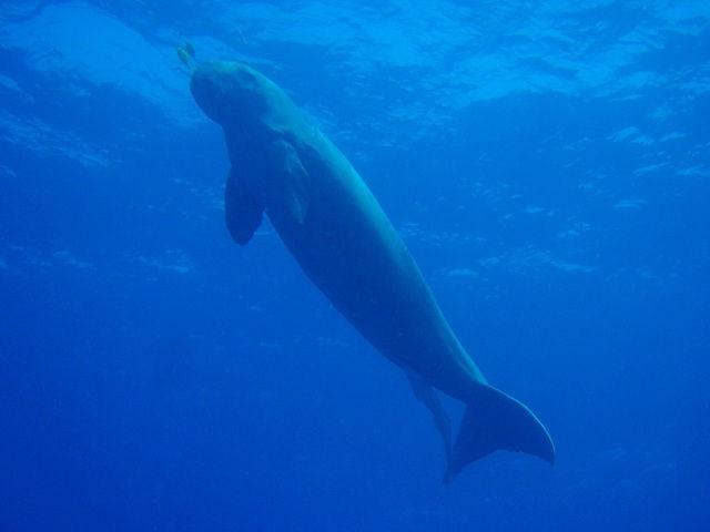 Gambar dan Foto Ikan Duyung