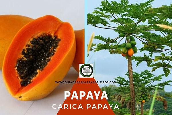 La papaya, Carica papaya, planta de la familia Caricaceae, género Carica
