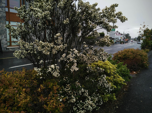 blossoming shrub in Moycullen