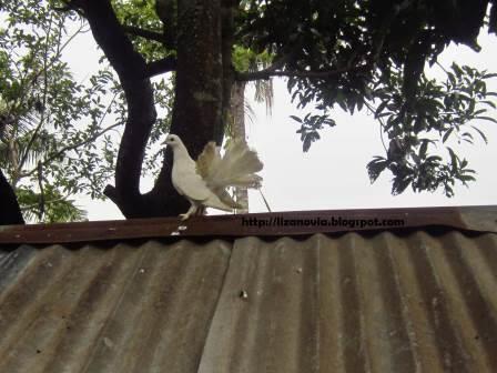 foto merpati di atap kandang, mau terbang atau gaya ? =)