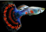 Jenis Ikan Guppy Termahal Guppy Halfmoon