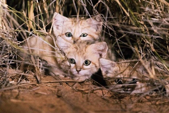 Gatos selvagens de areia são fotografados pela primeira vez