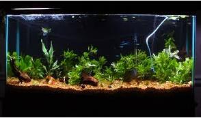 ikan hias air tawar terindah aquarium