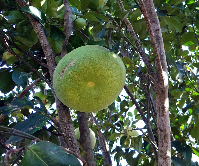 Pamplemousse sur l'arbre. Photographie Pixabay.