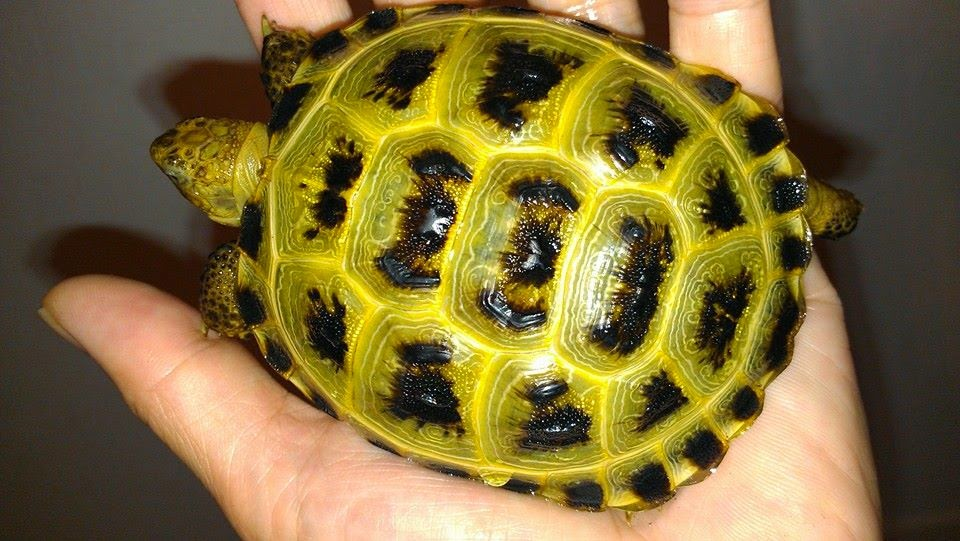 Tortaddiction Baby Russian Tortoise Care Sheet Also For