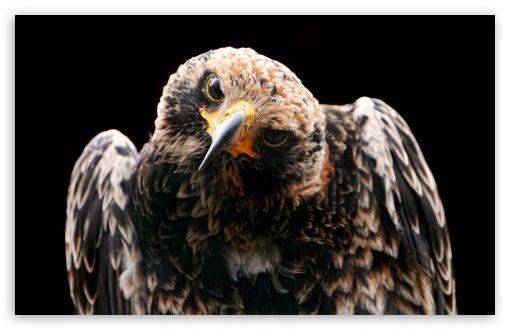 HD WALLPAPERS: Golden Eagles.