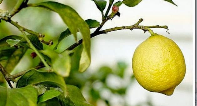 zumo de limon linear unit ayunas maternity adelgazar