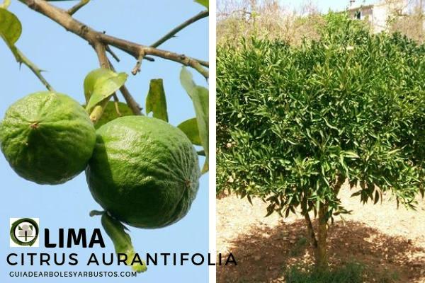 El árbol de Lima o Limonero, Citrus aurantifolia, su origen es asiático, ideal para pequeños Jardines