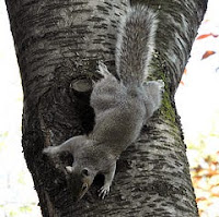 Image of squirrel going down tree head-first showing hind feet turned backward