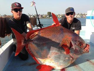 Ini dia Sosok Opah Ikan Laut Berdarah Panas Di Dunia