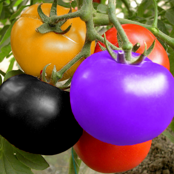 Amazing Facts About Tomato In Hindi