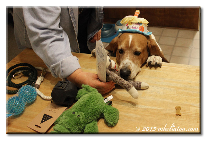 Bentley Basset smells his sock monkey