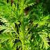 Descoperire uimitoare! Această plantă poate distruge 98% dintre celulele cancerului la plamani