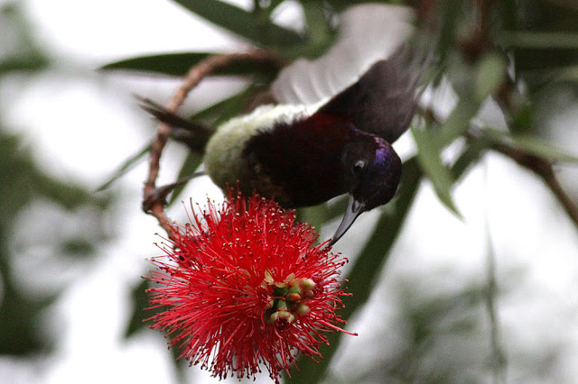 Sunbird at Bottle Brush flower