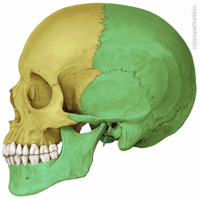 Квадранты черепа