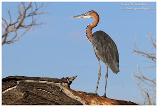 https://bioclicetphotos.blogspot.fr/search/label/H%C3%A9ron%20goliath%20-%20Ardea%20goliath