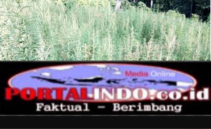Polisi Di Aceh Musnahkan Ladang Ganja Seluas 3 Hektare