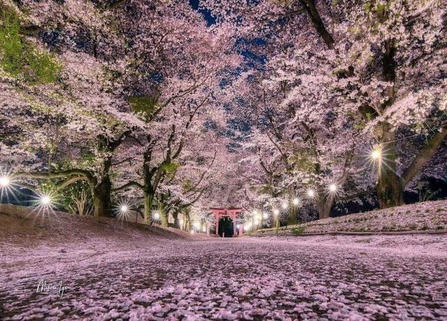 Indahnya Bunga Sakura Saat Musim Semi di Jepang