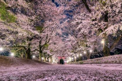 Ohanami Menatap Indahnya Bunga Sakura Saat Musim Semi di Jepang