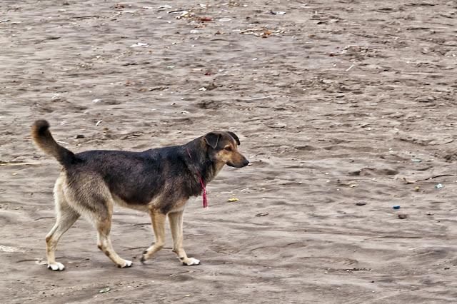 Perro caminando por la playa.