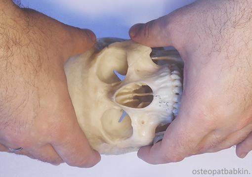 верхний и средний этажи лицевого черепа