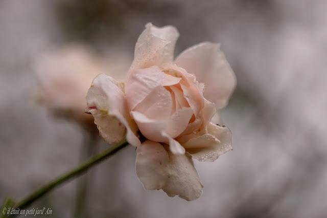 rosier remontant crème rosé inconnu jardin 2016