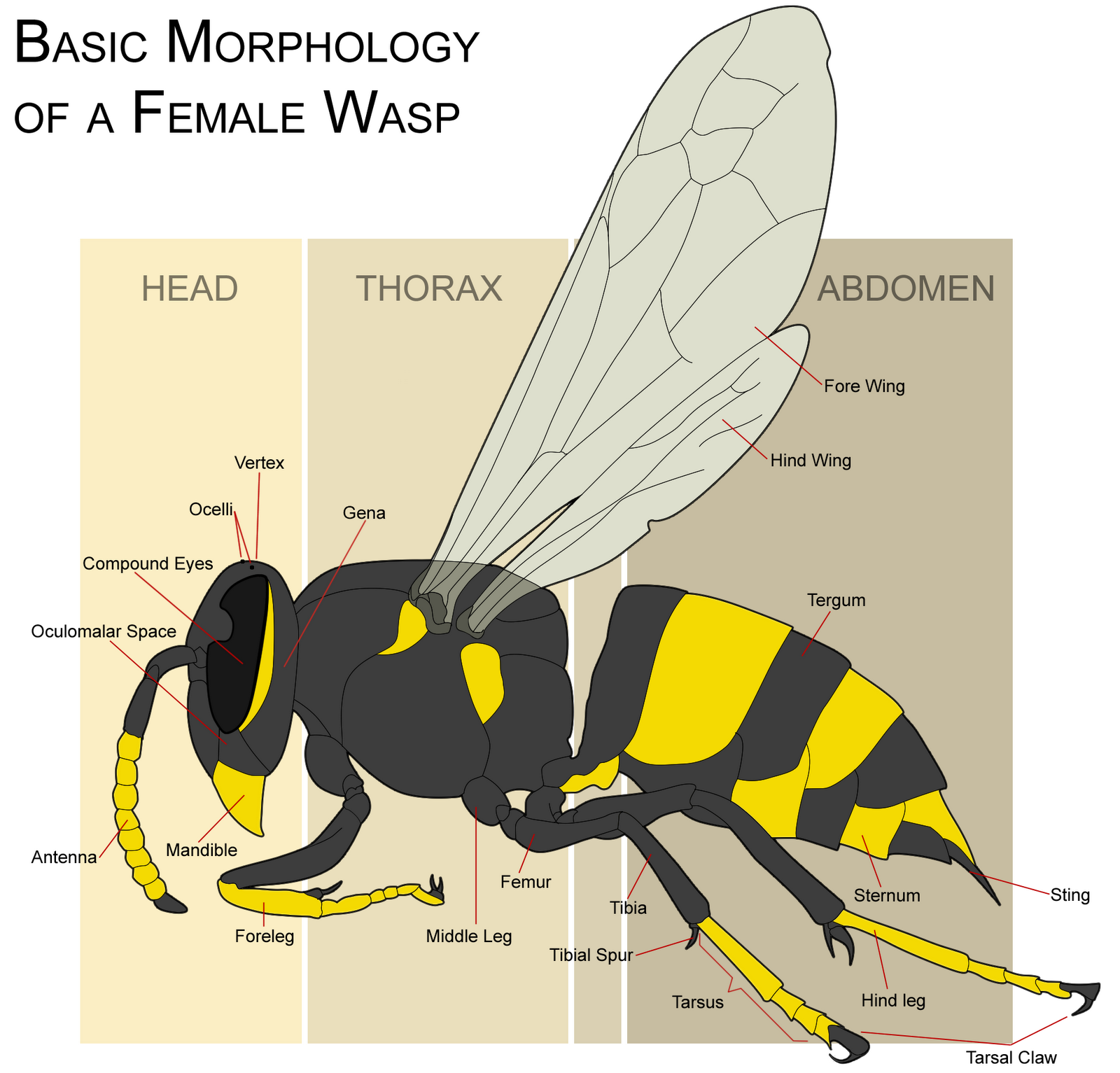 Diagram Of A Queen Bee Evinrude Outboard Motor Parts Microscope World Blog Wasp Eye Under