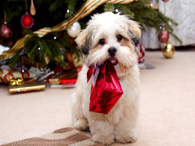 Christmas puppy.