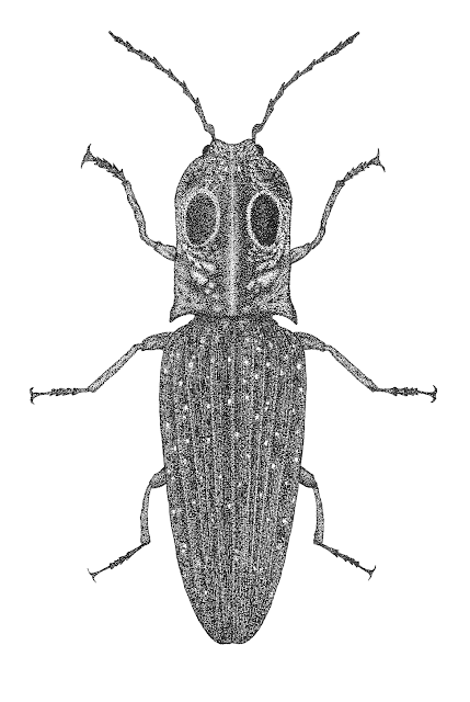 Eyed Click Beetle drawing, Eyed Click Beetle engraving, Щелкун Глазчатый рисунок гравюра, Alaus oculatus drawing engraving