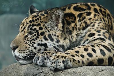 寝ている天王寺動物のジャガー