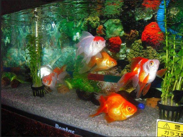 Cara Desain Hiasan Aquarium Untuk Ikan Koki
