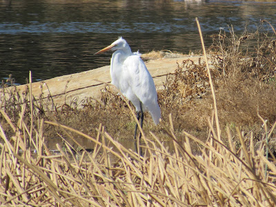 Great Egret in California