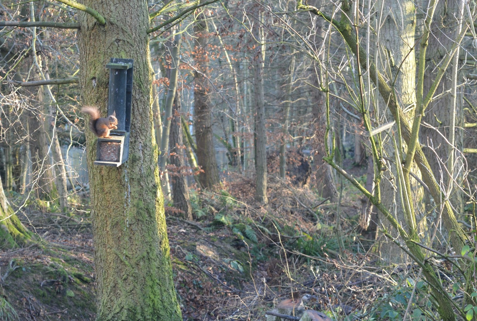 National Trust Members - Red Squirrel Wallington